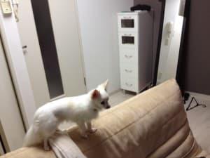 関西プロスタッフのスタッフの愛犬チワワ